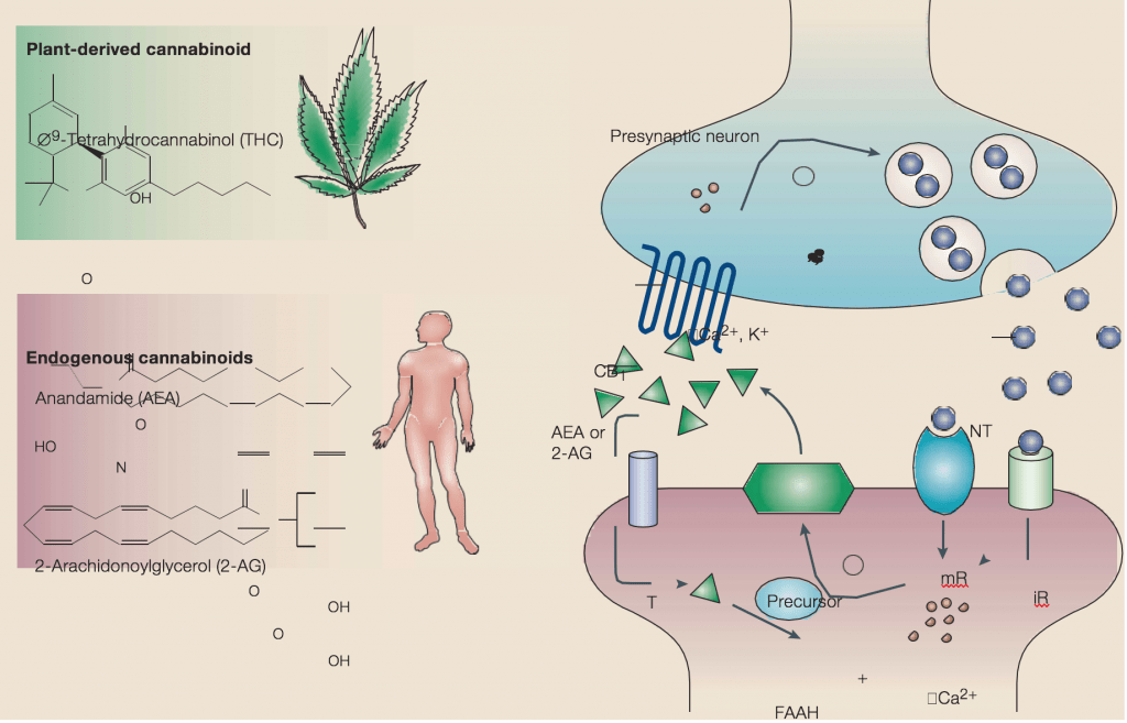 The endogenous cannabinoid system