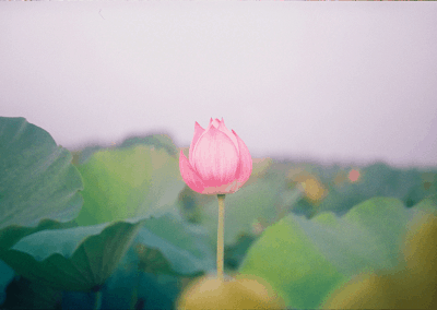 Post Traumatic Growth: The Lotus Theory & Toolkit